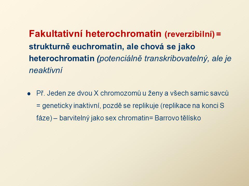 Fakultativní heterochromatin (reverzibilní) = strukturně euchromatin, ale chová se jako heterochromatin (potenciálně transkribovatelný, ale je neaktivní