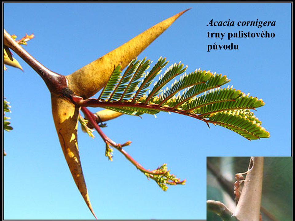 Acacia cornigera trny palistového původu