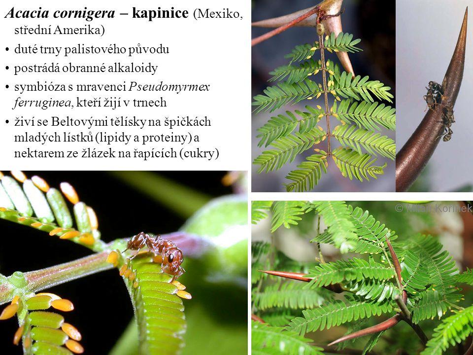 Acacia cornigera – kapinice (Mexiko, střední Amerika)