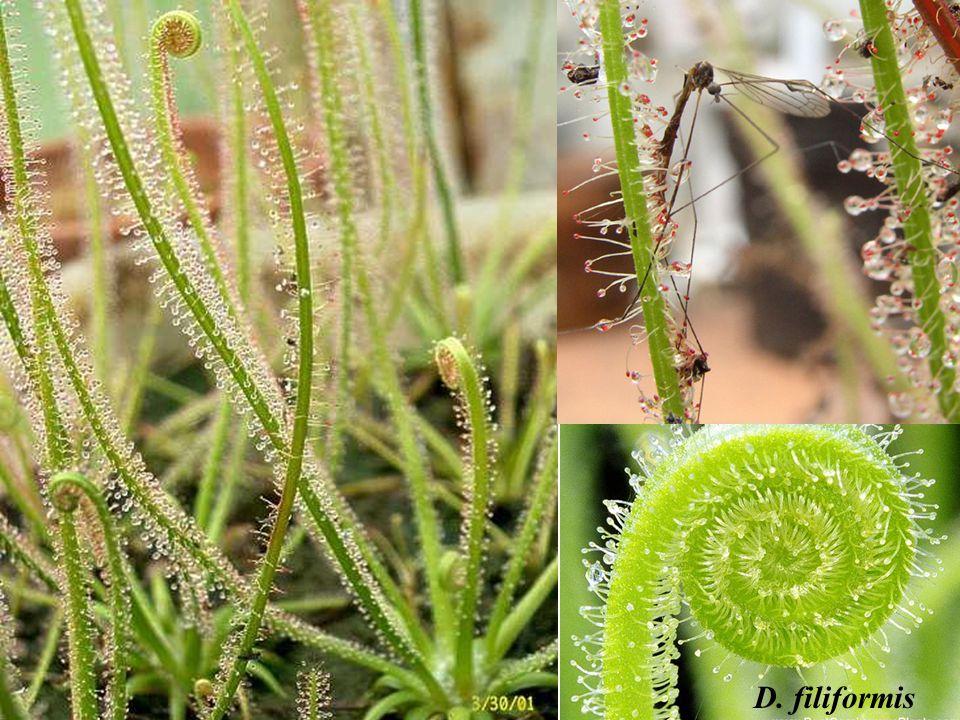 D. filiformis