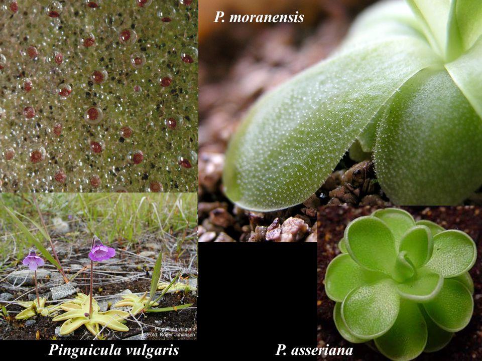 P. moranensis Pinguicula vulgaris P. asseriana