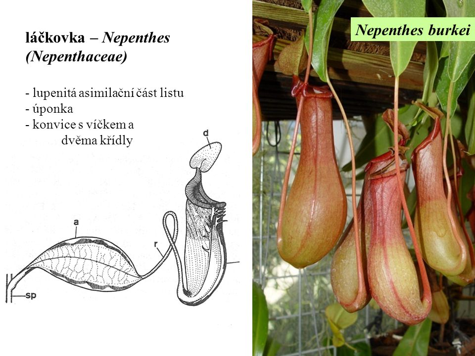 láčkovka – Nepenthes (Nepenthaceae)