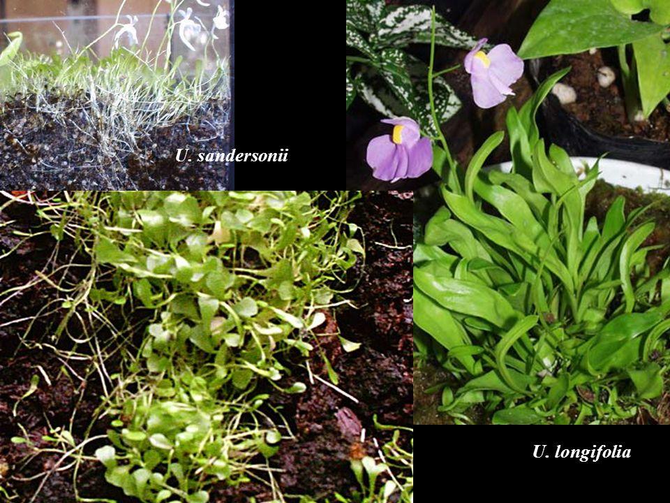 U. sandersonii U. longifolia