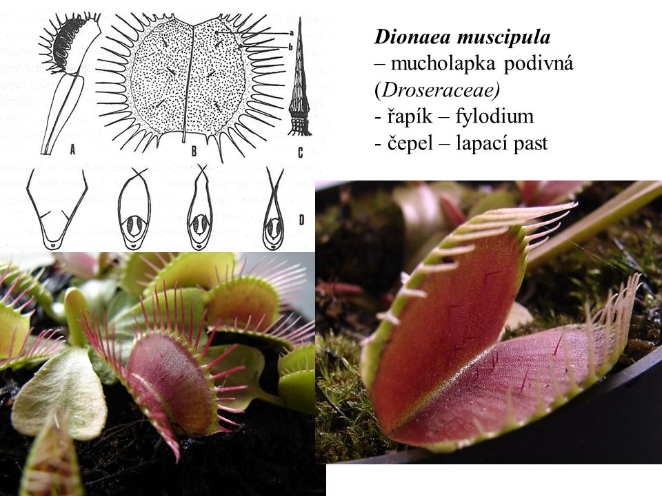 Dionaea muscipula – mucholapka podivná (Droseraceae) řapík – fylodium čepel – lapací past