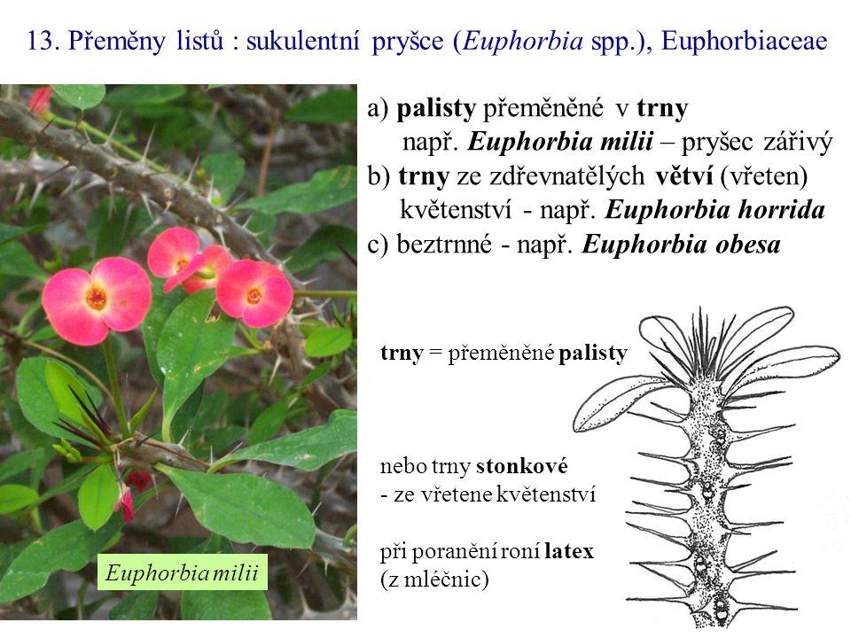 13. Přeměny listů : sukulentní pryšce (Euphorbia spp.), Euphorbiaceae