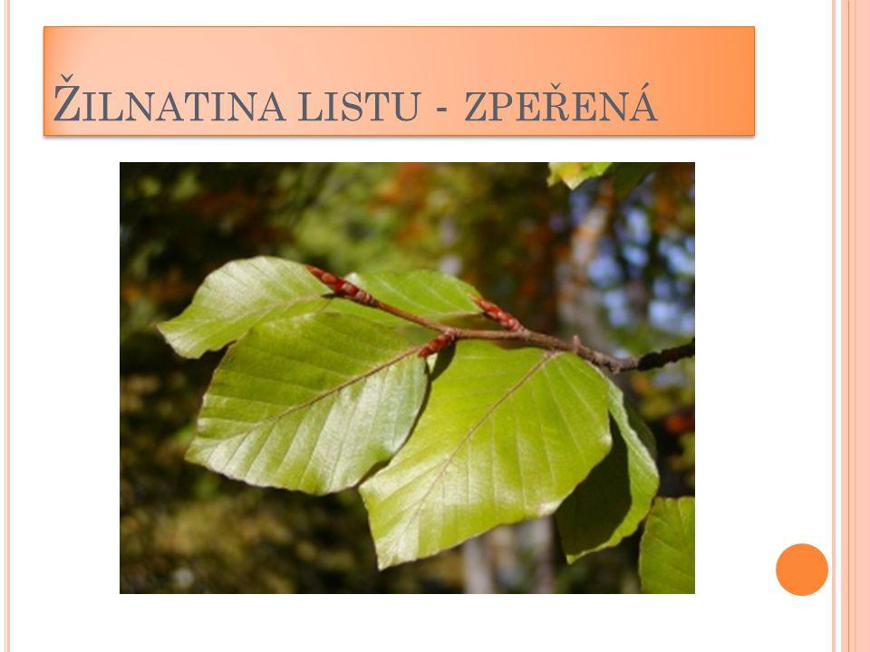 Žilnatina listu - zpeřená