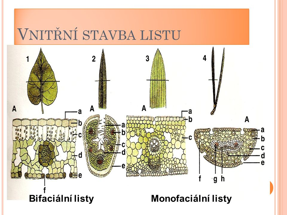 Vnitřní stavba listu Bifaciální listy Monofaciální listy