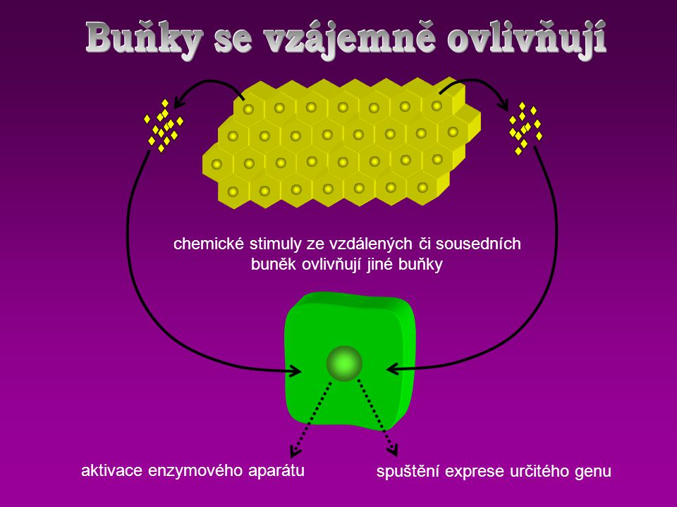 Buňky se vzájemně ovlivňují