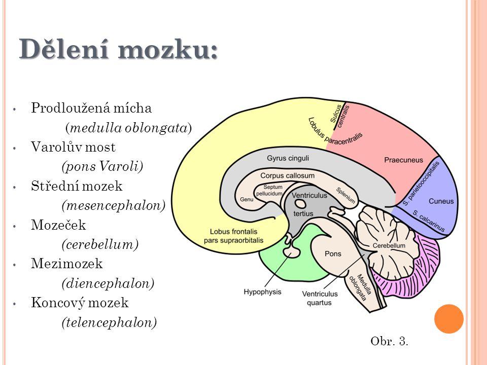 Dělení mozku: Prodloužená mícha (medulla oblongata) Varolův most