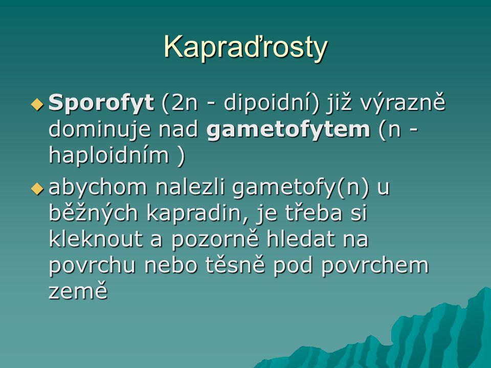 Kapraďrosty Sporofyt (2n - dipoidní) již výrazně dominuje nad gametofytem (n - haploidním )