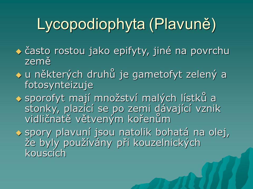 Lycopodiophyta (Plavuně)