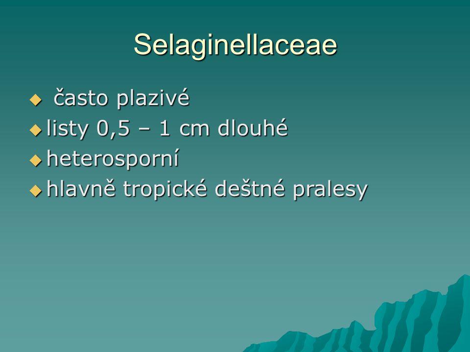 Selaginellaceae často plazivé listy 0,5 – 1 cm dlouhé heterosporní