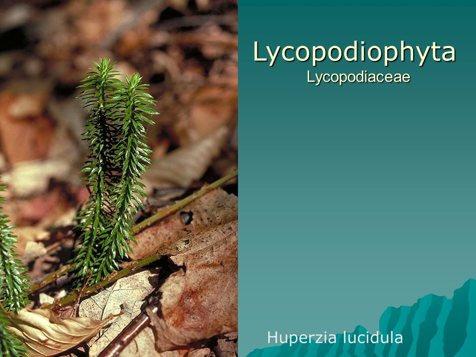 Lycopodiophyta Lycopodiaceae
