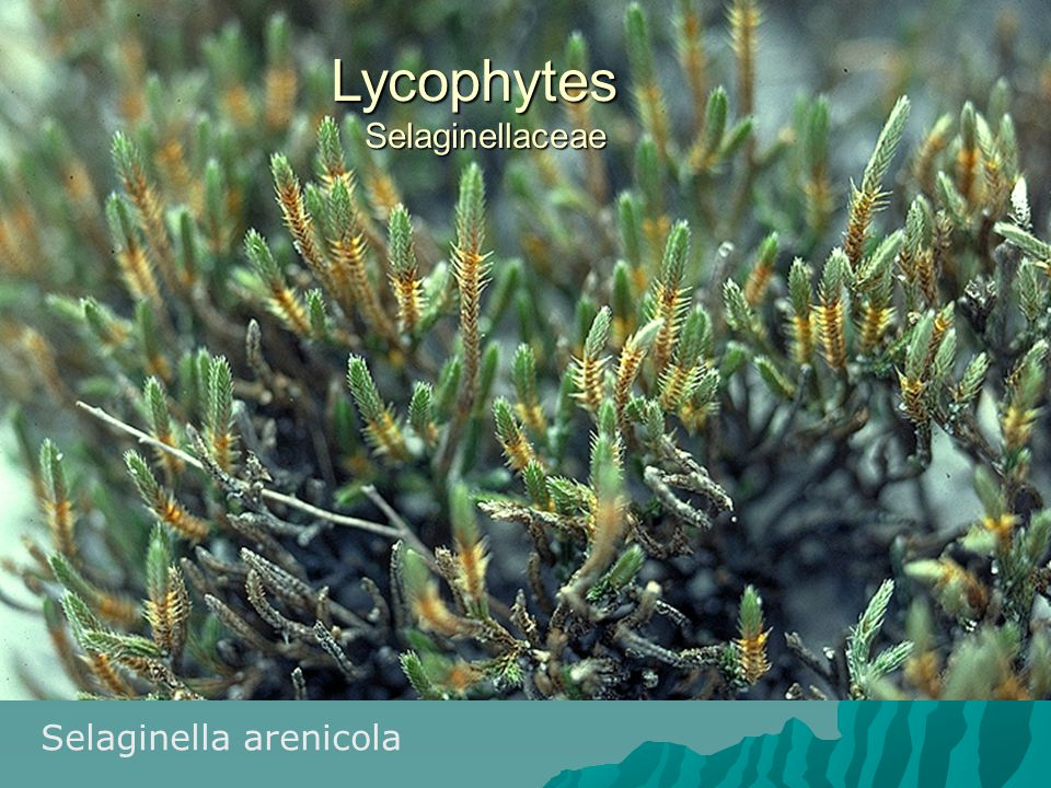 Lycophytes Selaginellaceae