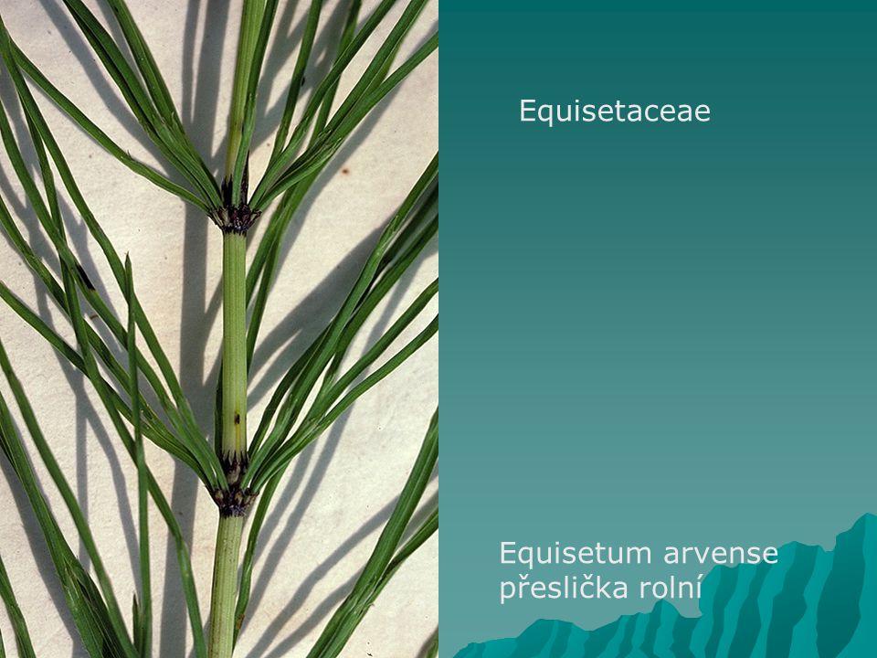 Equisetaceae Equisetum arvense přeslička rolní