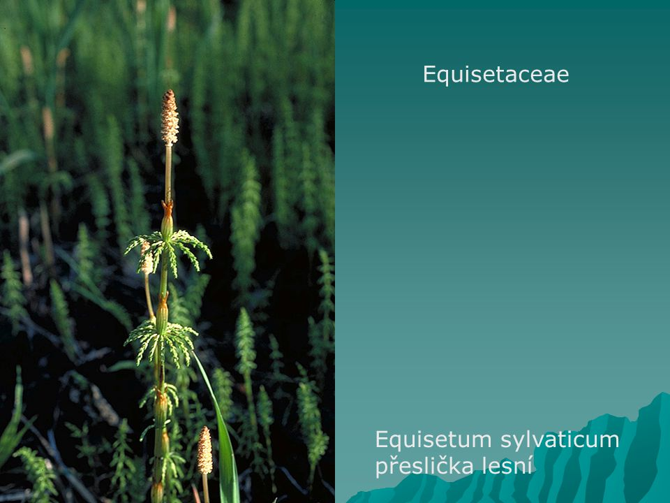 Equisetaceae Equisetum sylvaticum přeslička lesní