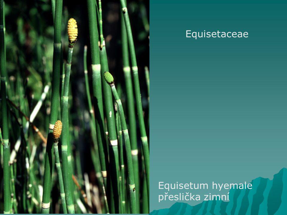 Equisetaceae Equisetum hyemale přeslička zimní