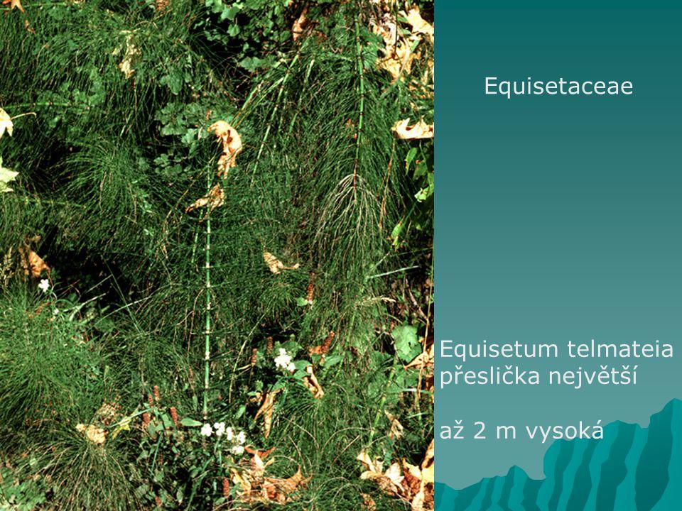 Equisetaceae Equisetum telmateia přeslička největší až 2 m vysoká
