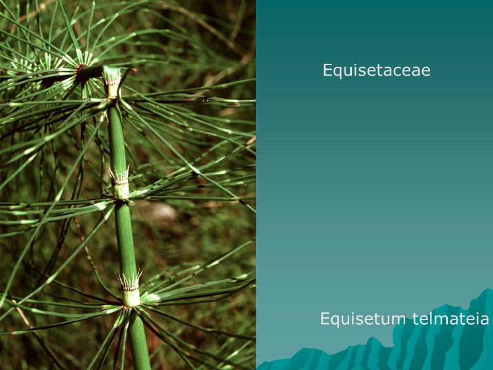 Equisetaceae Equisetum telmateia