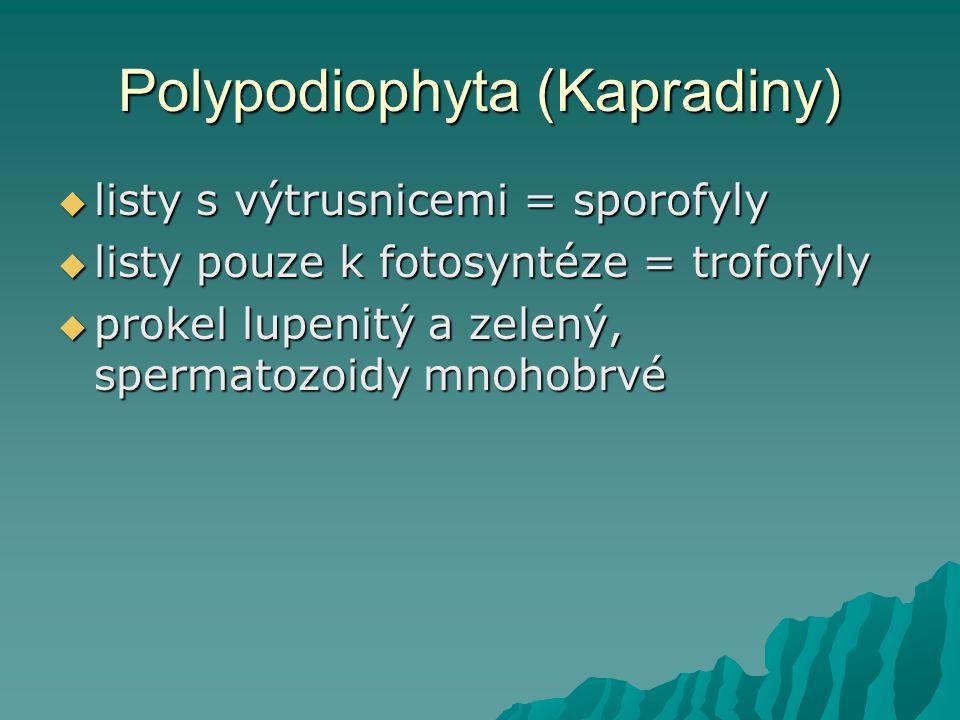 Polypodiophyta (Kapradiny)