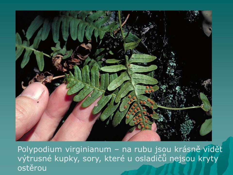 Polypodium virginianum – na rubu jsou krásně vidět výtrusné kupky, sory, které u osladičů nejsou kryty ostěrou