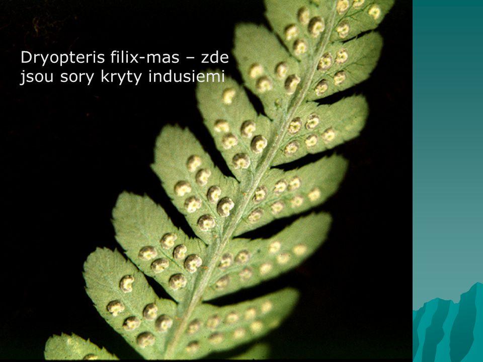 Dryopteris filix-mas – zde