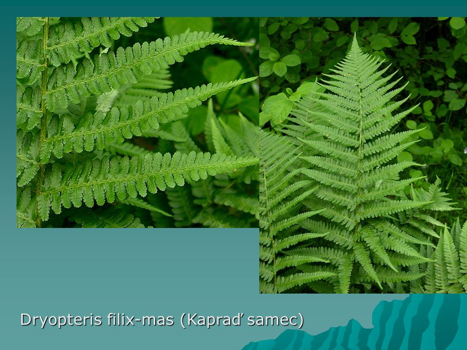 Dryopteris filix-mas (Kapraď samec)
