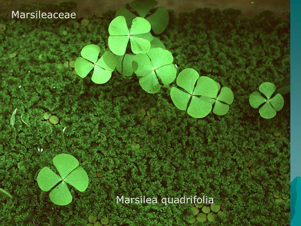 Marsileaceae Marsilea quadrifolia