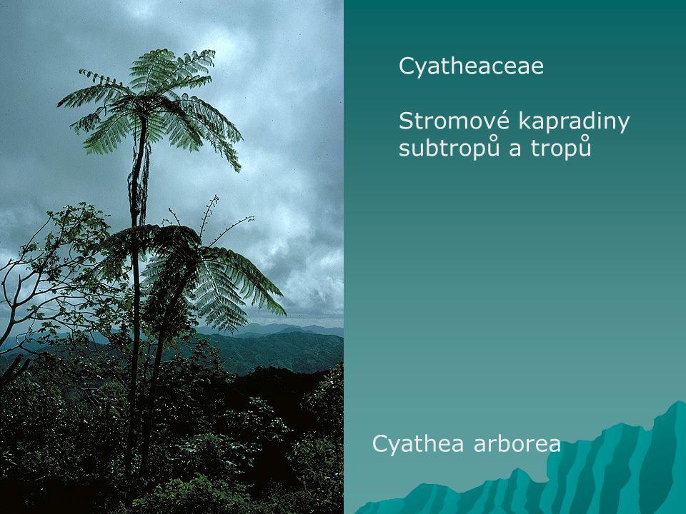 Cyatheaceae Stromové kapradiny subtropů a tropů Cyathea arborea
