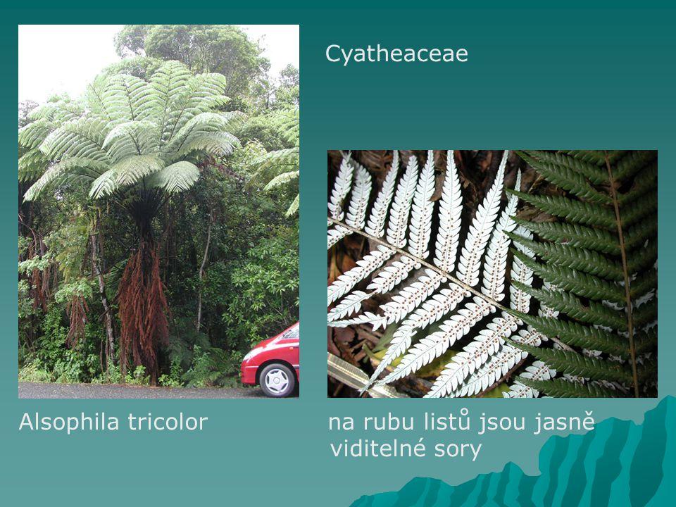 Cyatheaceae Alsophila tricolor na rubu listů jsou jasně viditelné sory
