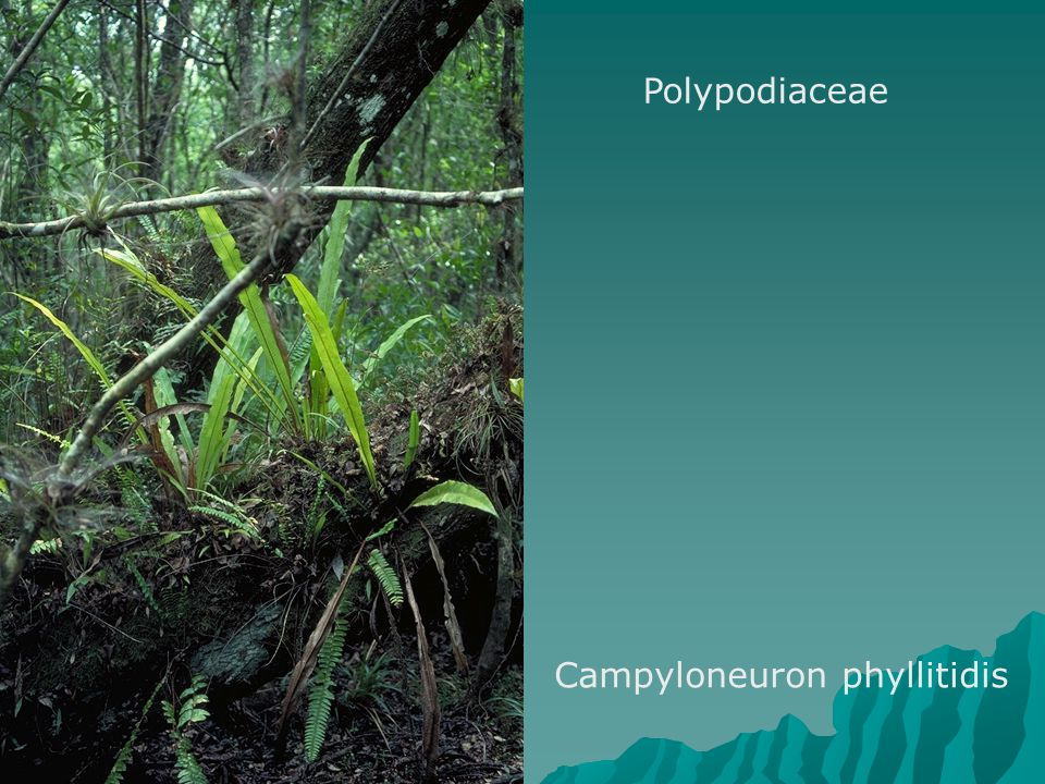 Polypodiaceae Campyloneuron phyllitidis