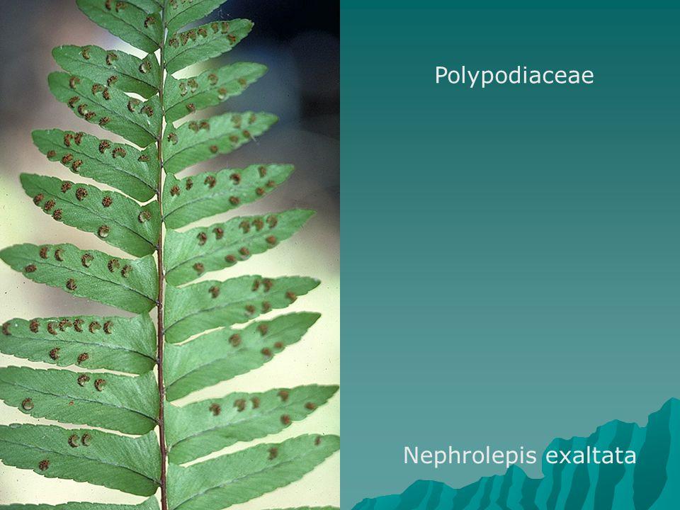Polypodiaceae Nephrolepis exaltata