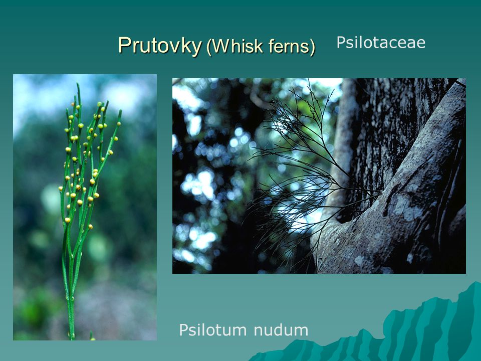 Prutovky (Whisk ferns)