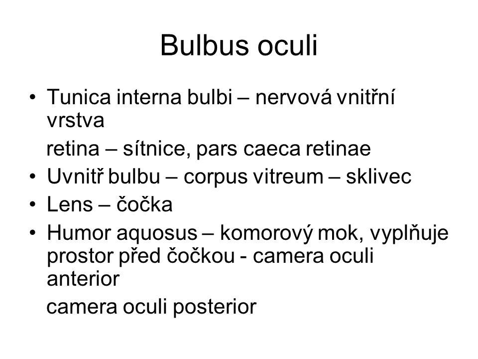 Bulbus oculi Tunica interna bulbi – nervová vnitřní vrstva