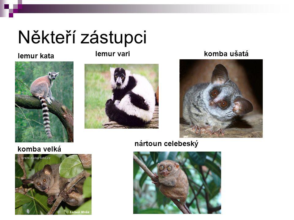 Někteří zástupci lemur kata nártoun celebeský komba velká
