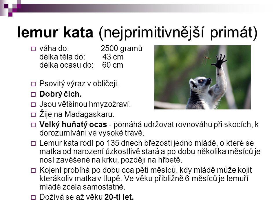 lemur kata (nejprimitivnější primát)