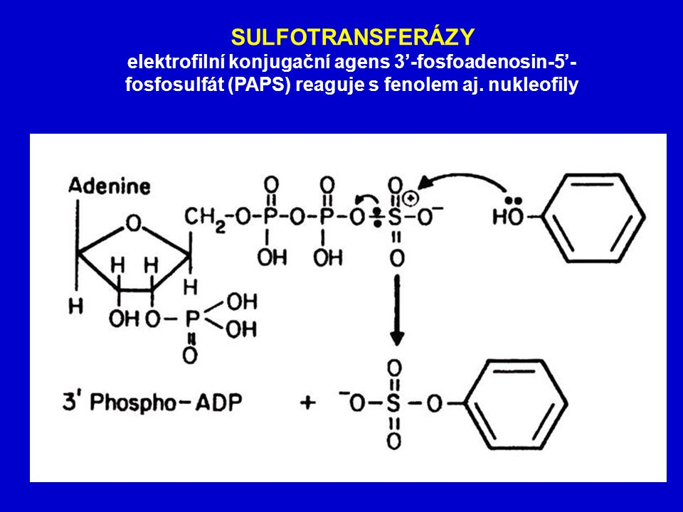 SULFOTRANSFERÁZY elektrofilní konjugační agens 3'-fosfoadenosin-5'-fosfosulfát (PAPS) reaguje s fenolem aj.