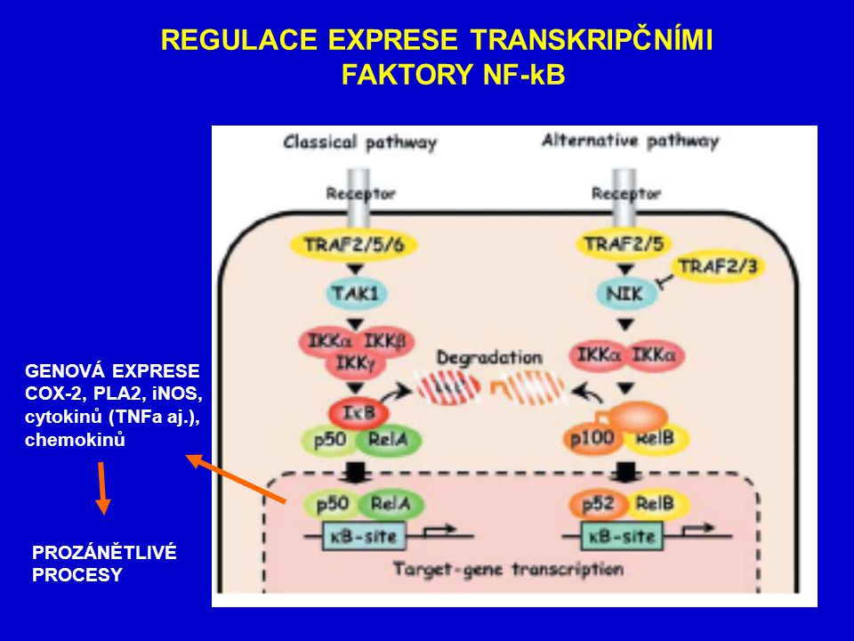 REGULACE EXPRESE TRANSKRIPČNÍMI FAKTORY NF-kB