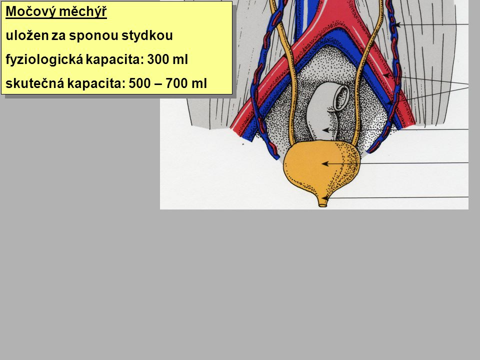 Močový měchýř uložen za sponou stydkou. fyziologická kapacita: 300 ml.