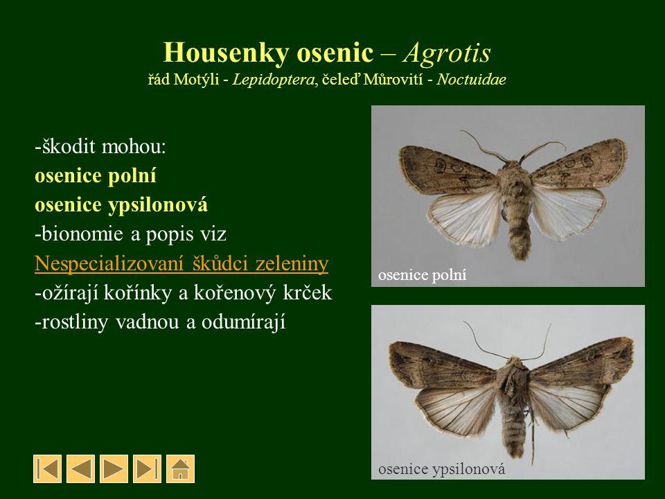 Housenky osenic – Agrotis řád Motýli - Lepidoptera, čeleď Můrovití - Noctuidae