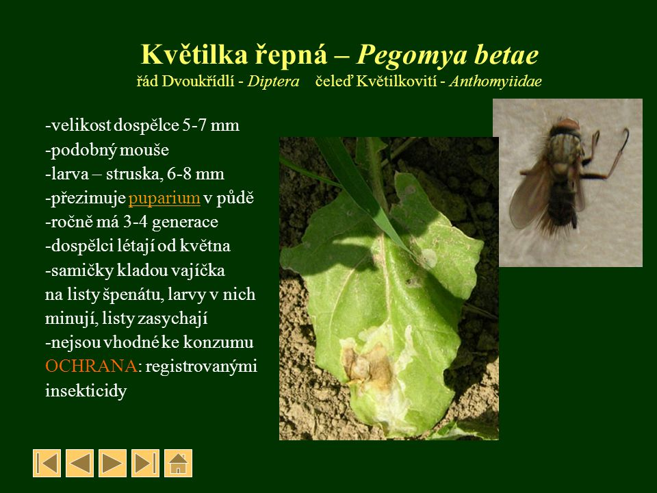 Květilka řepná – Pegomya betae řád Dvoukřídlí - Diptera čeleď Květilkovití - Anthomyiidae