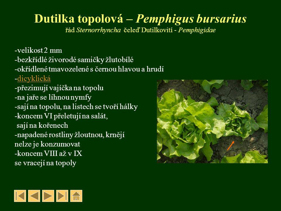 Dutilka topolová – Pemphigus bursarius řád Sternorrhyncha čeleď Dutilkovití - Pemphigidae