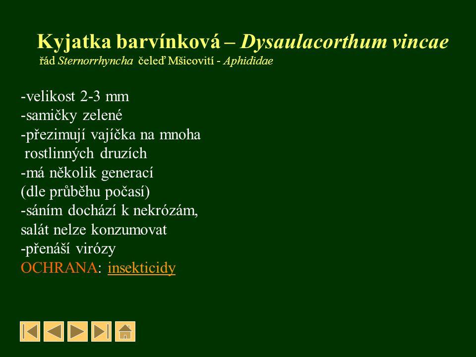 Kyjatka barvínková – Dysaulacorthum vincae řád Sternorrhyncha čeleď Mšicovití - Aphididae