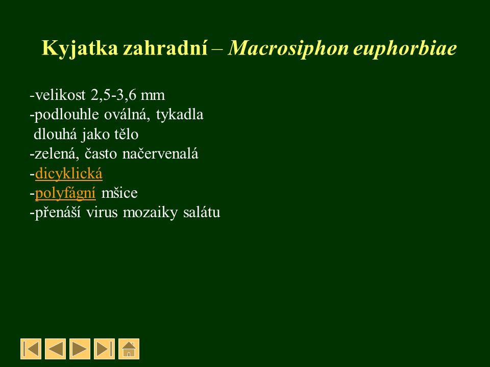 Kyjatka zahradní – Macrosiphon euphorbiae