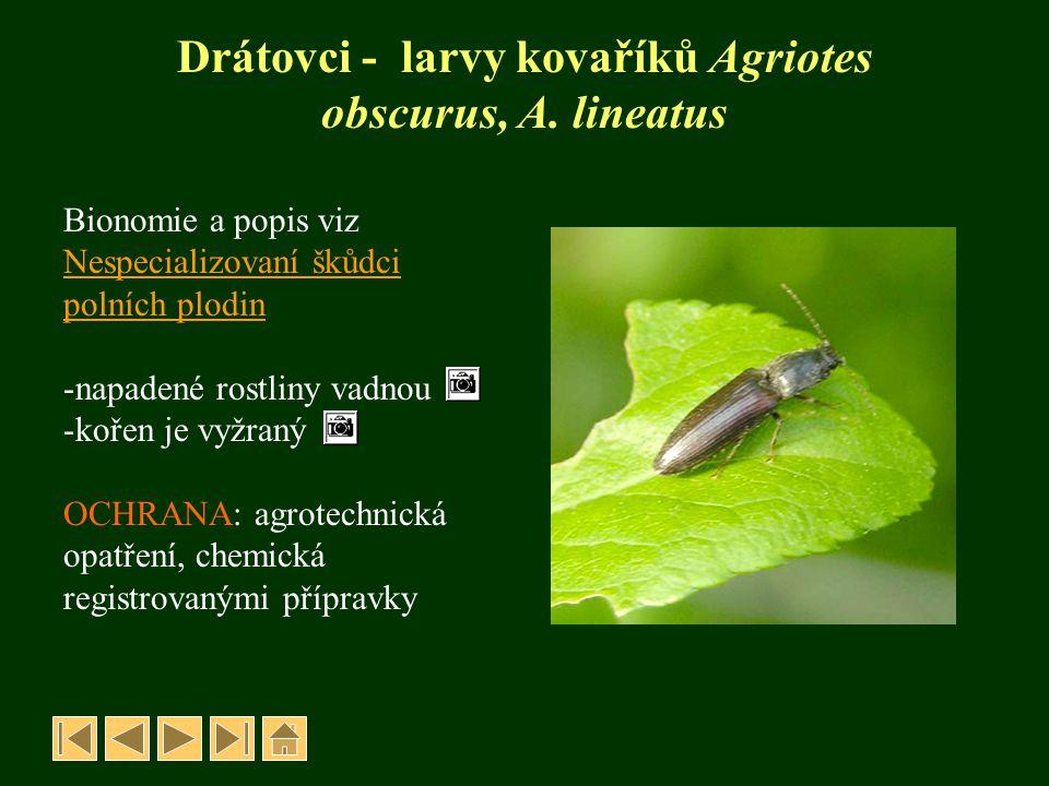 Drátovci - larvy kovaříků Agriotes obscurus, A. lineatus