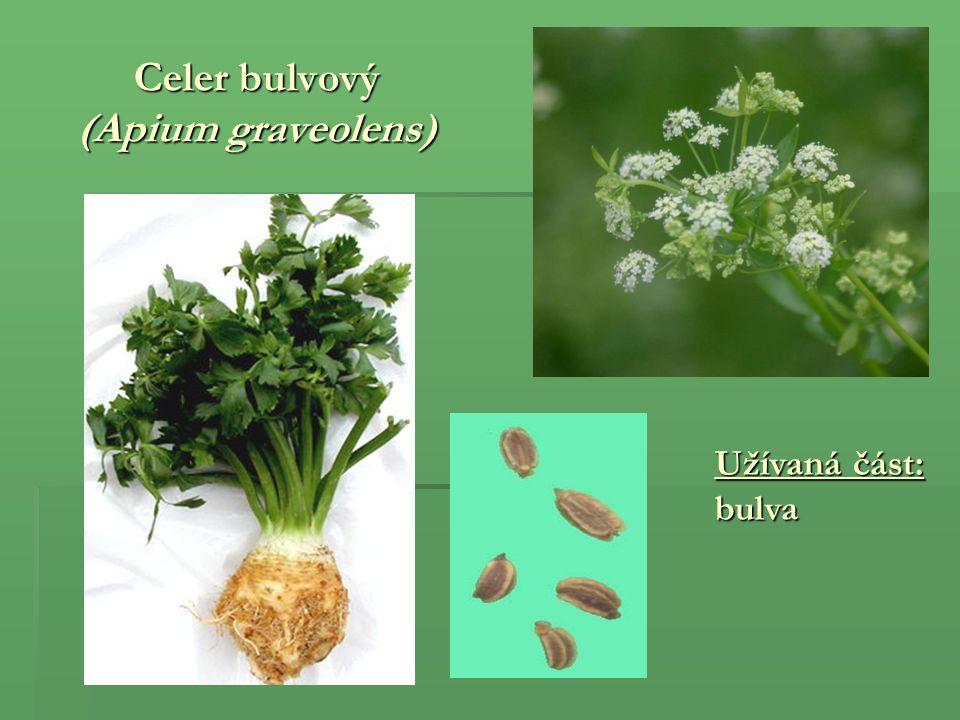 Celer bulvový (Apium graveolens)