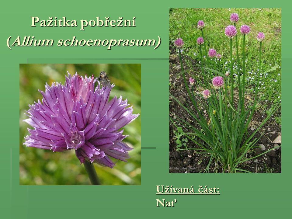 Pažitka pobřežní (Allium schoenoprasum)