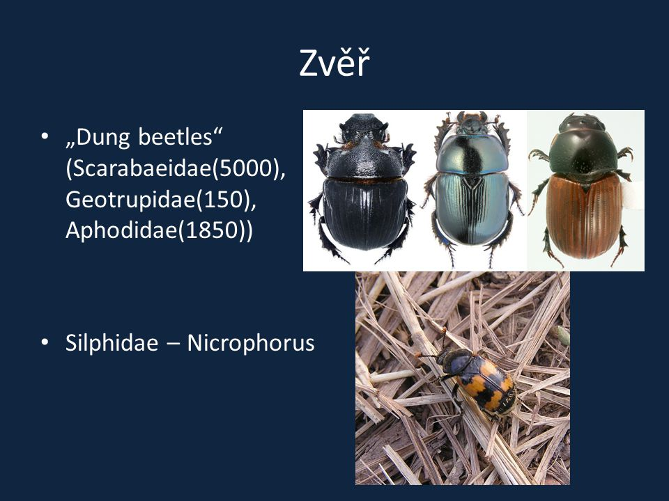 "Zvěř ""Dung beetles (Scarabaeidae(5000), Geotrupidae(150), Aphodidae(1850)) Silphidae – Nicrophorus"
