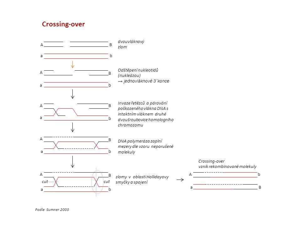Crossing-over dvouvláknový zlom A B a b