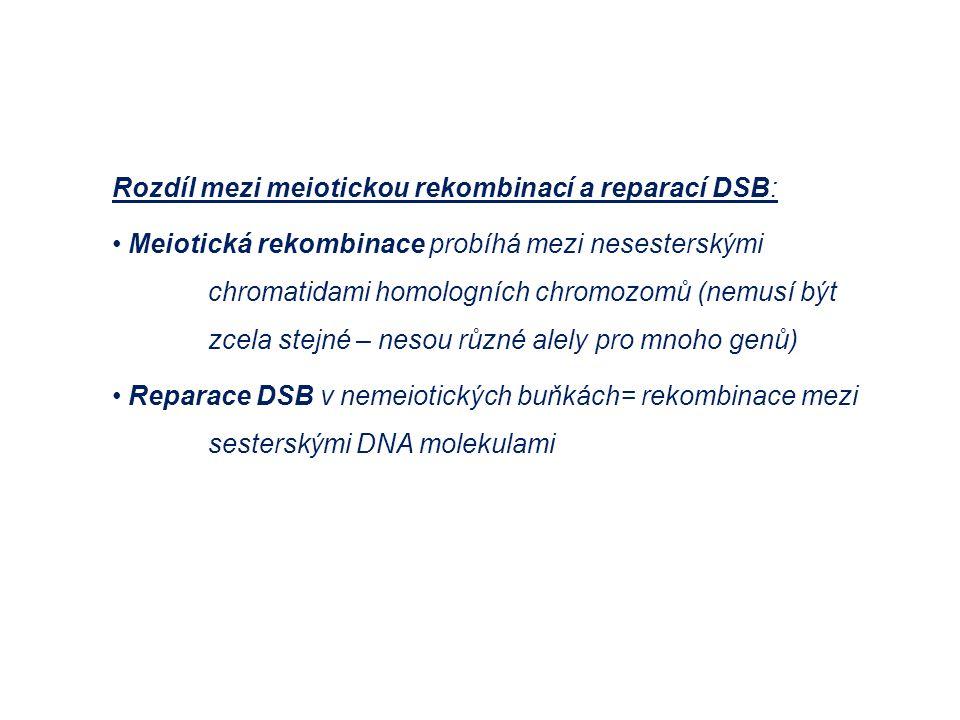 Rozdíl mezi meiotickou rekombinací a reparací DSB: